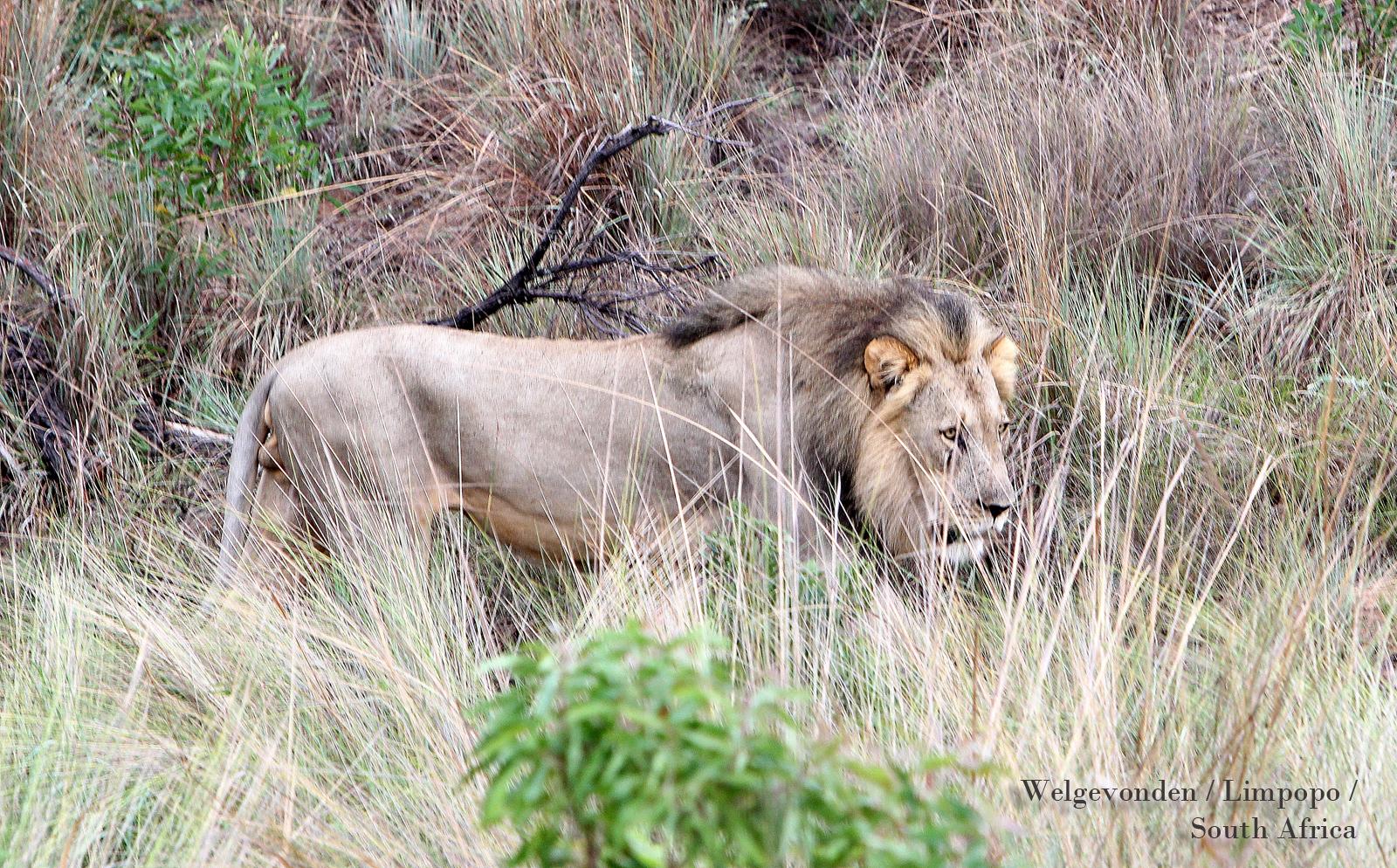 Lion at Welgevonden Limpopo SouthAfrica
